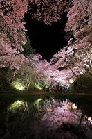 長野県 高遠城址公園 水面に投影するライトアップされた高遠コヒ...