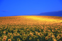 北海道 美瑛町 黎明のヒマワリ畑のライトアップ