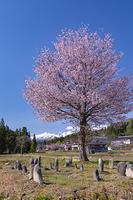 山形県 オオヤマザクラと朝日連峰方面