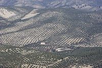 ハエン州の広大なオリーブ畑