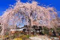 京都府 本満寺の枝垂れ桜