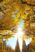 明治神宮外苑のイチョウ並木の黄葉
