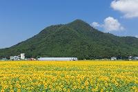福井県 みやがわひまわり畑