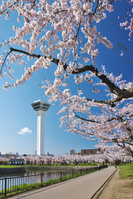 北海道 五稜郭公園の桜と五稜郭タワー