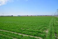 佐賀県 佐賀平野 小麦畑