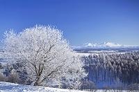北海道 美瑛町 霧氷の朝と旭岳