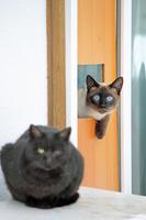 シャム猫と黒猫