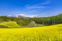 長野県 菜の花と北アルプス