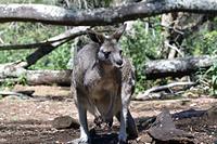 カンガルー タスマニア オーストラリア