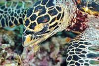 沖縄県 サンゴをくわえるタイマイ