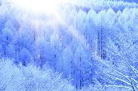 長野県 霧ケ峰高原 雪景色のカラマツ樹林