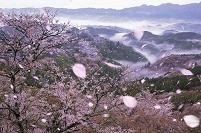 吉野 上千本からの桜 吉野町 奈良