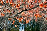 島根県 松江市 たわわに実る熟柿