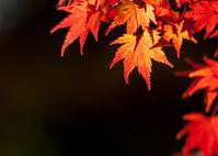 橙色のカエデの葉