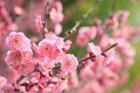 長野県 紅梅
