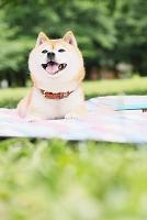 公園の豆柴犬