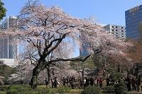 東京都 文京区 小石川後楽園 桜