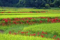 奈良県 ヒガンバナ咲く棚田