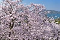 愛媛県 今治市 開山公園の桜と大三島橋