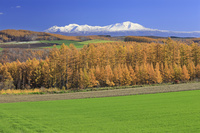 北海道 カラマツの黄葉と大雪山