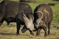 ケニア アフリカスイギュウのケンカ