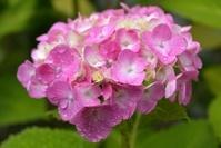 兵庫県 水滴とアジサイの花