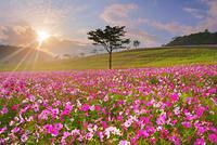 長野県 佐久市 佐久高原 コスモス畑と木立と朝日