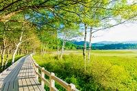 栃木県 小田代原の木道と白樺