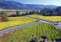 アメリカ合衆国 ナパバレーの葡萄