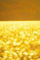 秋田県 田沢湖 黄色い水面のリング