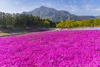 埼玉県 芝桜咲く羊山公園と武甲山