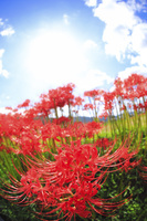 京都府 彼岸花と太陽
