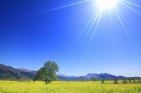 長野県 飯山市 菜の花畑と高標山と焼額山と高社山と木立と太陽...