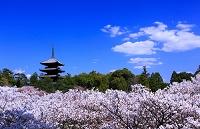 京都府 桜の仁和寺
