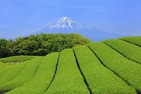 静岡県 残雪の富士山と一番茶の茶畑