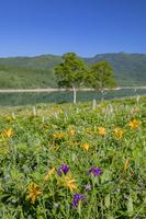 群馬県 トラノオとアヤメとノゾリキスゲ咲く野反湖