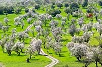 モロッコ アーモンドの木