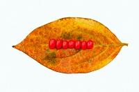 柿の落ち葉とはなみずきの実