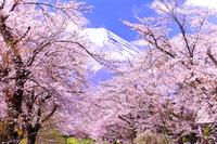 山梨県 忍野村から望む富士山と桜