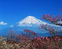 静岡県・富士市 岩本山公園 梅と富士山