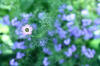 花 ギリア