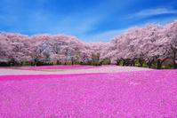 群馬県 ザ・トレジャーガーデン 桜