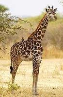 タンザニア キリン