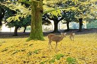 奈良県 奈良公園の鹿とイチョウ