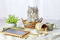かごの中に入るミヌエットの子猫