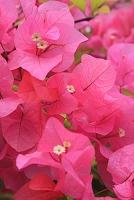 沖縄県 ブーゲンビリアの花