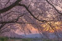 福井県 夕日の足羽川の桜並木