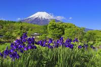 山梨県 新名庄川沿いに咲く花菖蒲と残雪の富士山