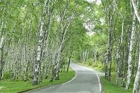 白樺林と道