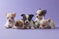 5匹のチワワの子犬